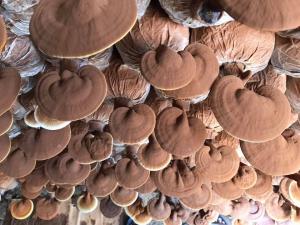 Nấm Linh Chi Việt Nông Lâm cao cấp NANOLA (500g)