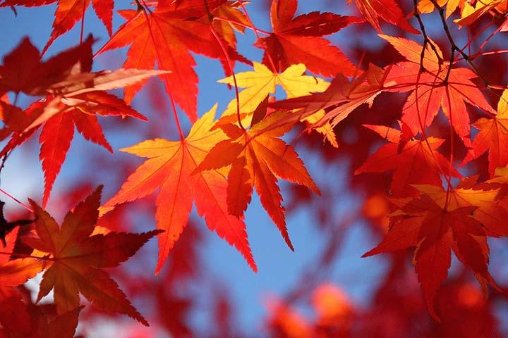 Mùa thu lá đỏ ở Nhật Bản