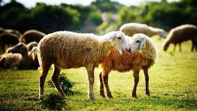 Đồng cừu Suối Nghệ – Địa điểm siêu 'hot' ở Vũng Tàu