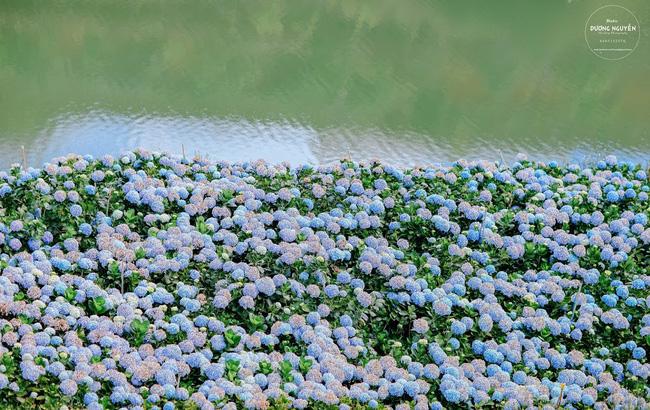 Đà Lạt mới - Cánh đồng hoa cẩm tú cầu