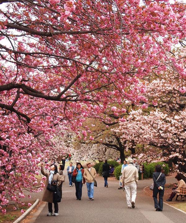 KHÁM PHÁ MÙA HOA ANH ĐÀO NHẬT BẢN  TOKYO – IBARAKI -  HAKONE – NÚI FUJI – KAWAGUCHIKO