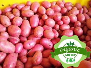 Khoai tây hồng Đà Lạt Organic
